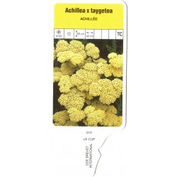 Achillea 'Taygetea' LECLIP2117