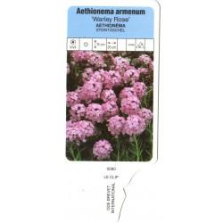 Aethionema armenum 'Warley...