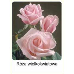 Rosa Hybrid Tea różowa FP230