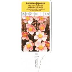 Anemone hybrida 'Königin...