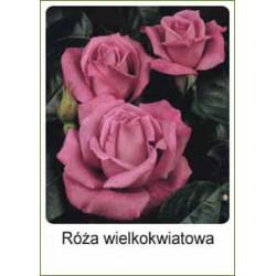 Rosa polyantha różowa FP241