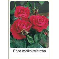 Rosa Hybrid Tea czerwona FP231