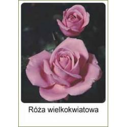 Rosa Hybrid Tea...