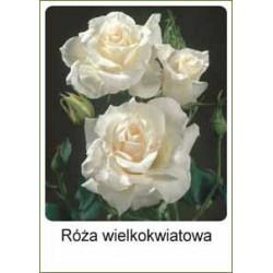 Rosa Hybrid Tea biała FP234