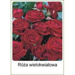 Rosa Hybrid Tea bordowa FP227