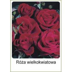 Rosa Hybrid Tea bordowa FP226