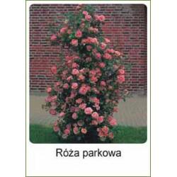 Rosa parkowa jasnoczerwona...