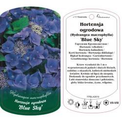 Hydrangea macrophylla 'Blue...