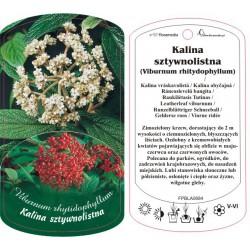Viburnum rhitydophyllum...