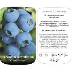 Vaccinium corymbosum...