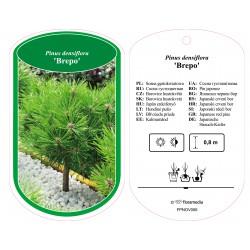 Pinus densiflora 'Brepo'...