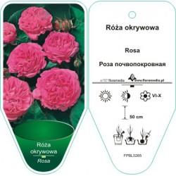 Rosa okrywowa ciemnoróżowa...
