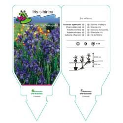 Iris sibirica blue FPSWA060